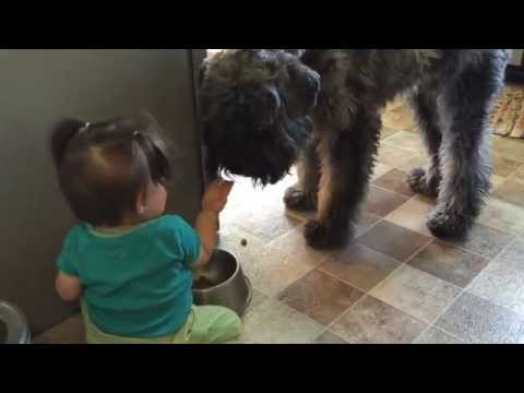 Baby Feeds Paddy the Bouvier
