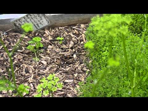 Parsley - Second Year - Bloom to Seeds