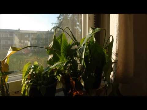 Spathiphyllum coming back to life