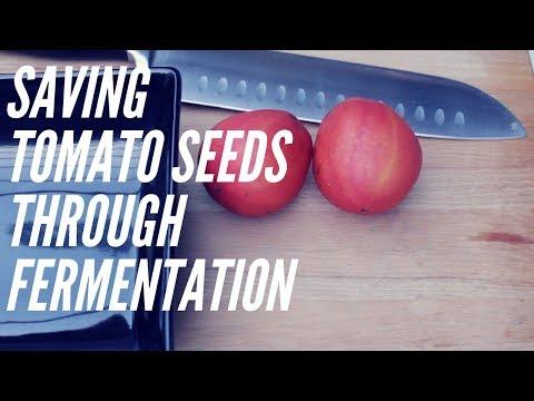 Fermentation of Tomato Seeds - Seed Saving