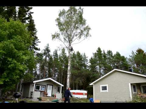 Hobby arborist - Big birch