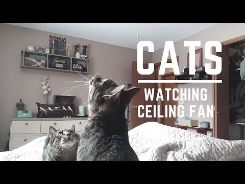 Funny Curious Cats Watching the Shadow from Ceiling Fan | Then Cuddle