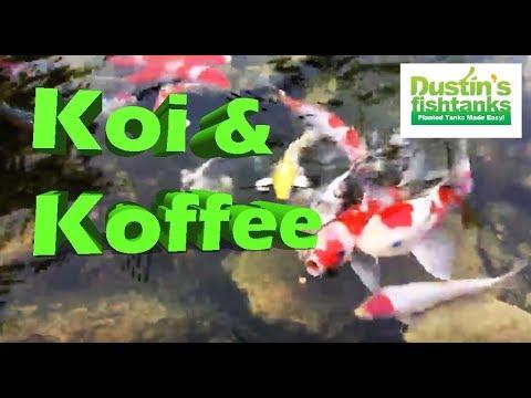 Koi pond and koffee, morning aquarium fish feeding, Live bearers and koi get some food