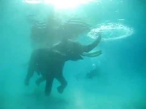 Video and pictures: Elephant skilled in swimming, diving,'' Rajan''