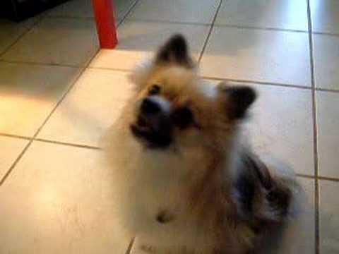 Dinglehopper the Pomeranian's Tricks 3 months after Surgery