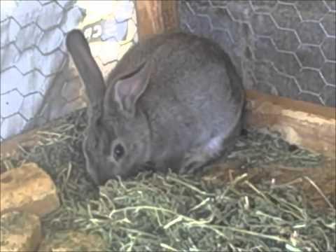 majors rabbitry, May 13th, 2013