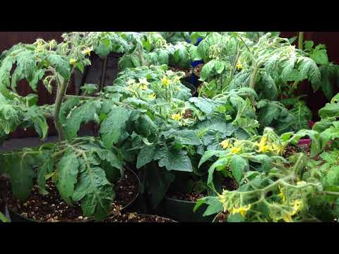 Grow and Harvest Micro Dwarf Tomatoes In Record Time!