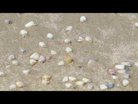 donax clams digging into sand