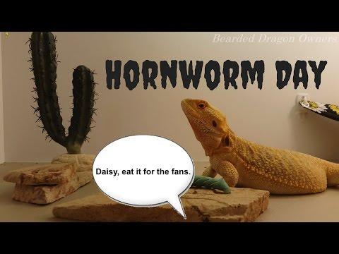 Bearded Dragon (Blaze and Daisy) // Hornworm Day [4K].