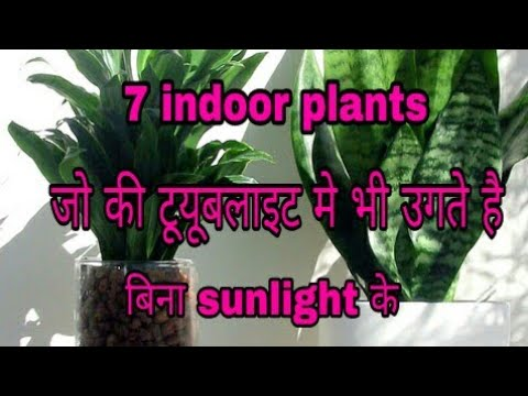 224_7 indoor plants that can grow without sunlight/ in a Tube light( Hindi/ Urdu)