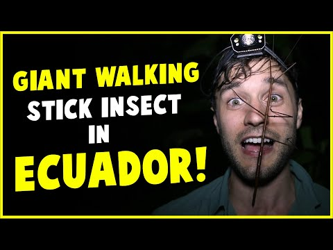 GIANT WALKING STICK INSECT in ECUADOR!