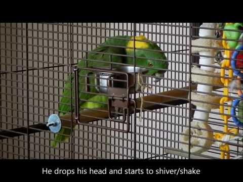 Hormonal Behavior Amazon Parrot