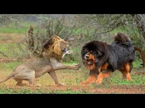 Confrontation between a Lion & Tibetan Mastiff!!!