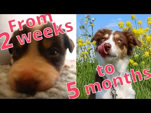 Border Collie Puppy 2 weeks to 5 months in 3 minutes (Canon 70D and Tamron 24-70)