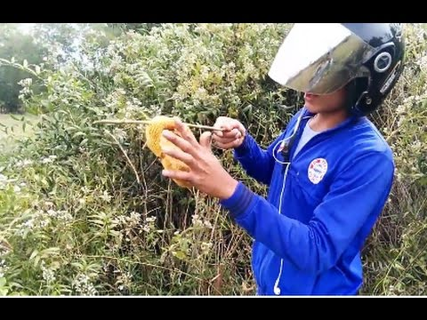 Catching a Wild Honeybee Swarm | Trap honey bee |feral bee