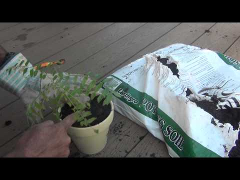 Replanting Baby Curry Leaves Plants in pot