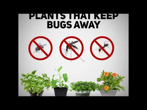 Homey Home: Plants That Keep Insects Away!