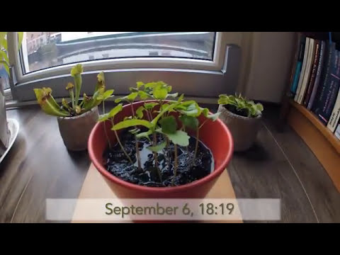 Basil From Seed 3 Week Time lapse