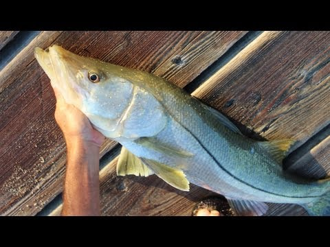 Awesome Pier Snook Fishing!