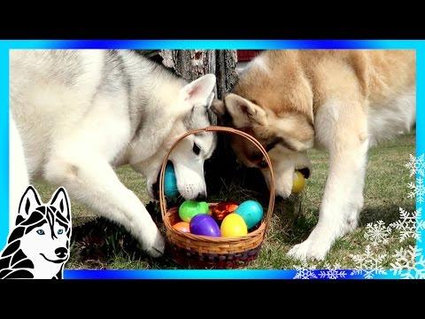 DOGS EASTER EGG HUNTING  | Huskies Hunt for Easter Eggs | Husky Easter Egg Hunt