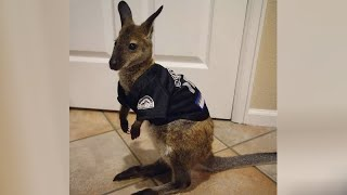 AUSTRALIAN ANIMALS are here to MAKE YOU LAUGH! - FUNNY and CUTE!
