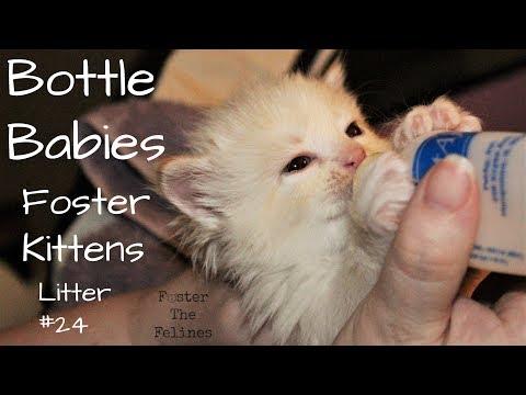Hungry Kittens & Bottle Feeding - Foster Litter #24