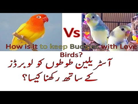 Love Birds Ko Budgies k sath Rakhna Kesa? Keeping Love Birds with Budgies?