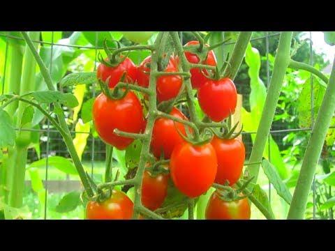 Container Garden Update JUNE 21st Harvest Bug Control Tomato Pepper Kale Organic Fertilize