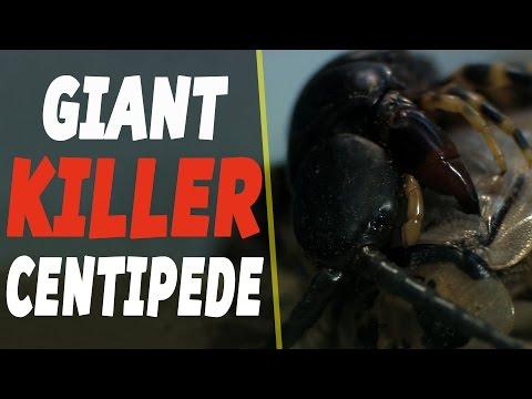 Beware The Giant Killer Centipedes