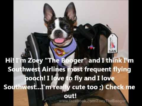 Frequent Flying Boston Terrier