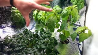 Update On Bush Basil Pruning Method