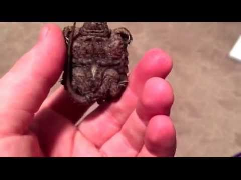 Alligator snapping turtle unboxing!!