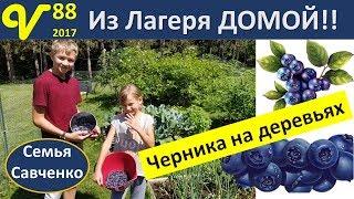 Из лагеря домой!! Черника / голубика на деревьях Влог 88 Колокольчики в церкви семья Савченко