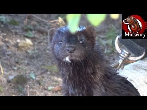 Amazing Mink Fang Hunting and Fishing!
