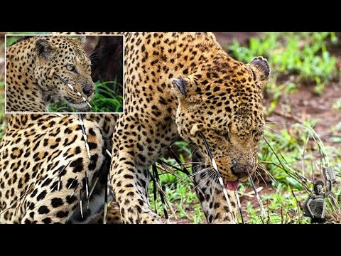 Photographer captured 'huge fight' between hungry leopard and porcupine