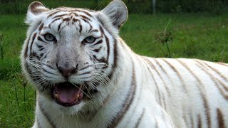 True Facts About White Tigers