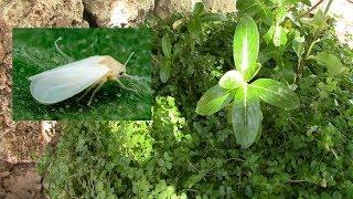 Белокрылка в моих растениях.  Продолжаю борьбу с белокрылкой!