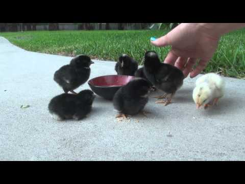 How to teach baby Chicks to eat and drink!!