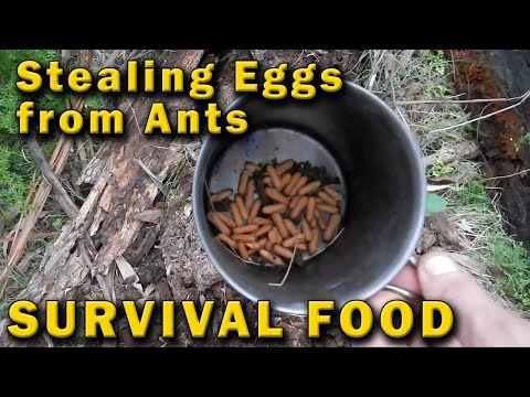 Stealing Eggs from Poisonous Ants, Survival Food Australia
