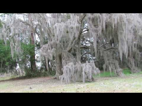 Excessive Spanish Moss on Tree Savannah National Wildlife Refuge, GA