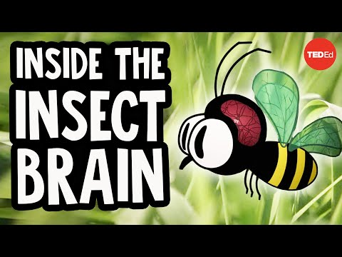 Why the insect brain is so incredible - Anna Stöckl