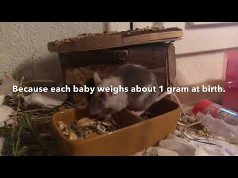 How To Breed Mice Part 2 | The Pregnancy