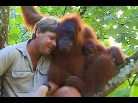 Xxx Mp4 Crocodile Hunter Steve Irwin Has Emotional Encounter With Mother Orangutan 3gp Sex