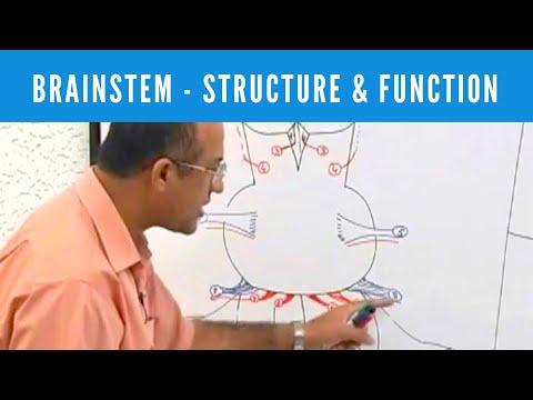 Brainstem - Structure & Function - Neuroanatomy