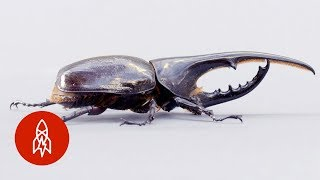 The Small, but Mighty, Hercules Beetle
