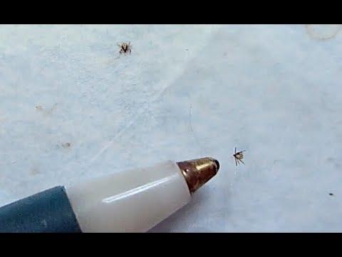 Lyme Disease Danger - The Smallest Tick Ever