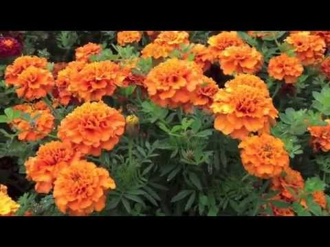 Natural Mite & Lice prevention in Chicken Hutches & Nesting Boxes -Using Marigolds