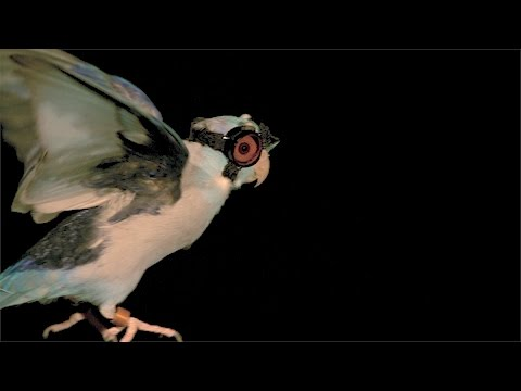 Stanford researchers debunk popular flight models by flying birds through lasers
