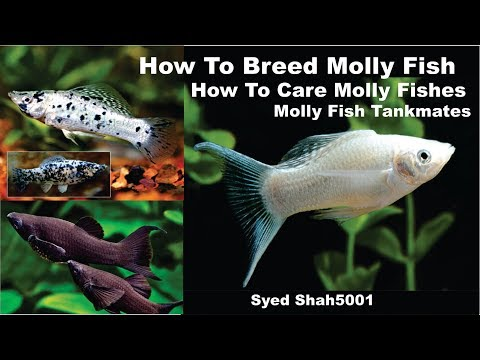 How to breed molly Fish ,facts,feeding, tank mates tips in Hindi & Urdu with English subtitles