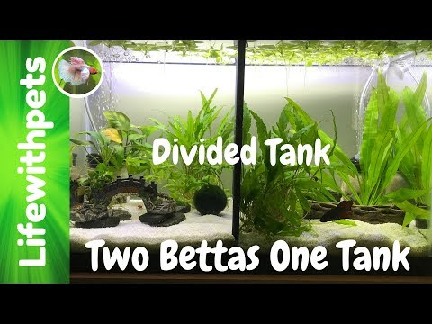 How to Clean a Divided Betta Fish Tank (Collab)